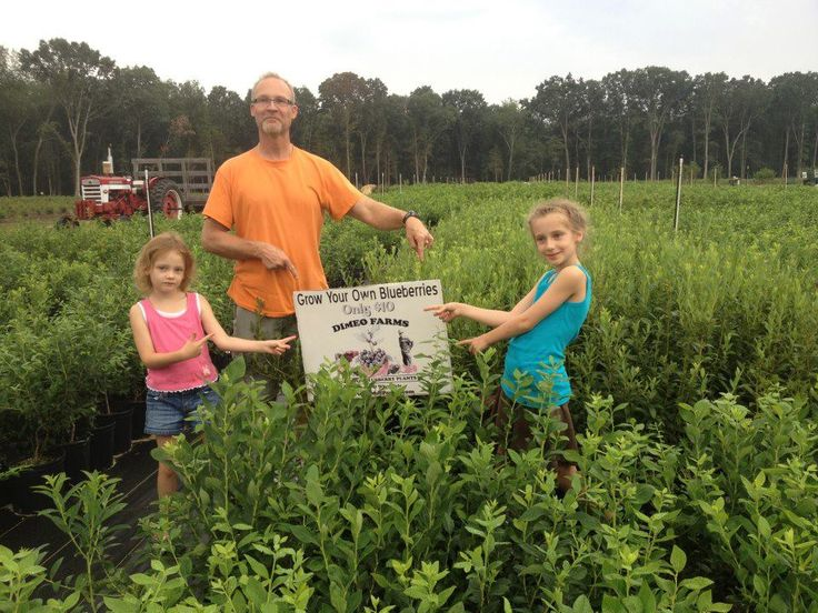 Premium Blueberry Plants for Sale - DiMeo Farms & Nursery Blueberry Bushes for Sale