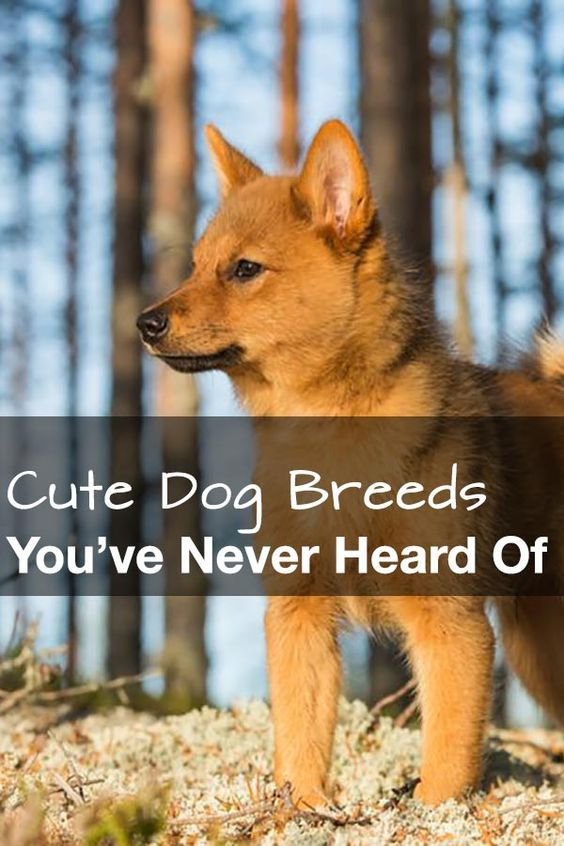The 23 Cutest Dog Breeds You've Never Even Heard Of #dogs: