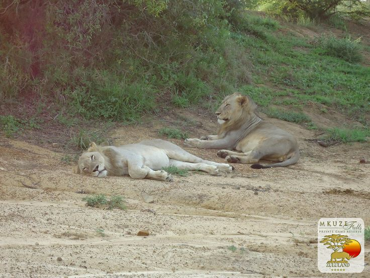 Lions at Mkuze