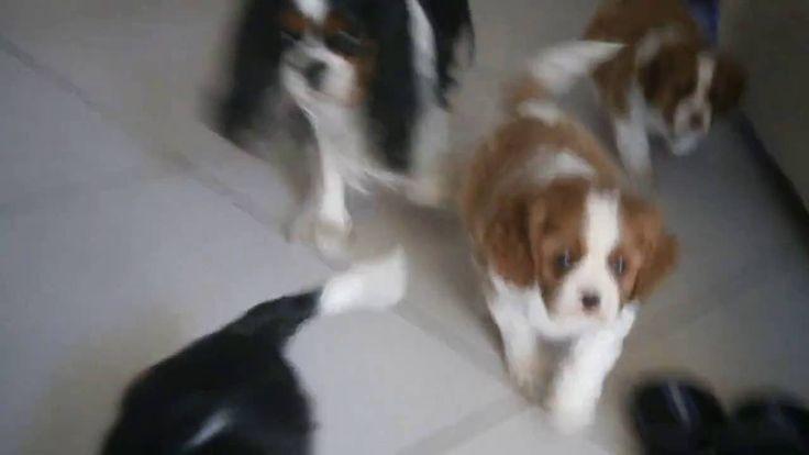 Mamma e cuccioli di Cavalier King Charles Spaniel