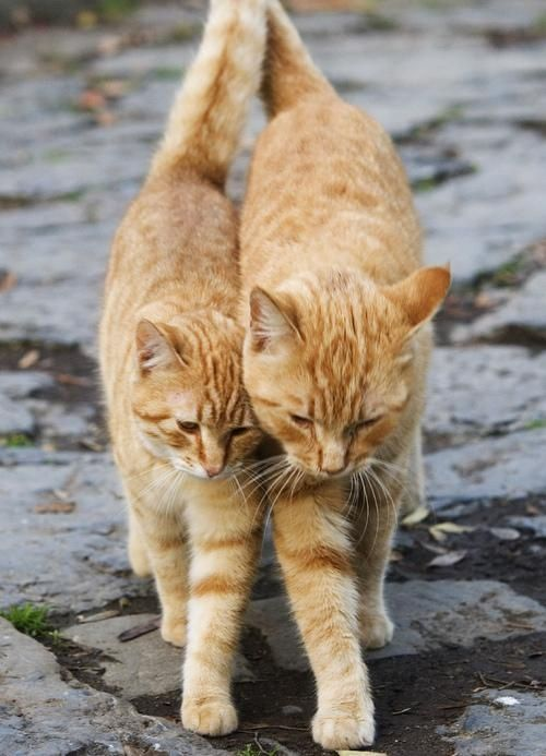 Cats : Sometimes Gingernut goes for long walks with his friend Starbucks to discuss the latest mouse catching techniques .....