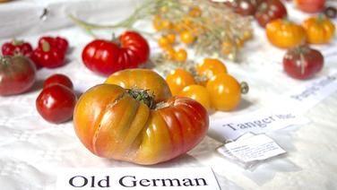 Tisch, auf dem zahlreiche alte Tomatensorten liegen. Vorn im Bild eine große, faltige Tomate namens Old German.
