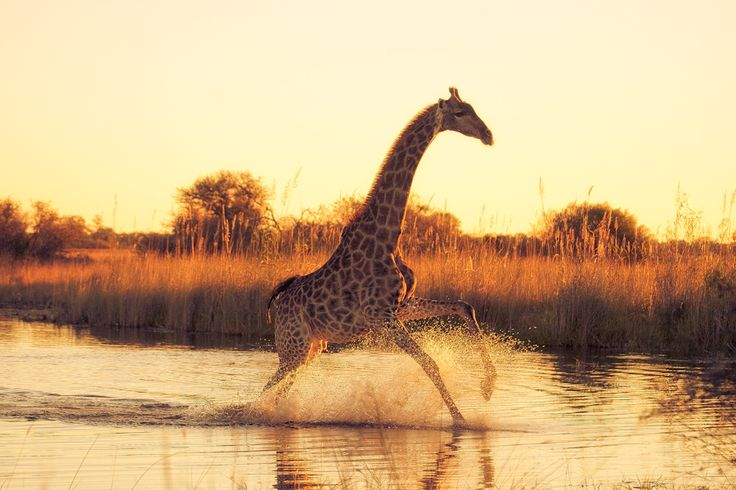 """earthsfinest:  (via """"Running On Water"""" by Mario Moreno) Giraffe ( Giraffa Camelopardalis ) running over a flooded area in Moremi Game Reserve in the heart of The Okavango Delta."""