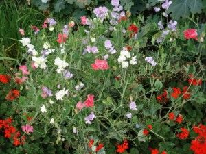 """The sweet peas your grandmother grew truly deserved the name """"sweet"""" because of their delightful fragrance can still find those highly scented ones as heirloom seeds. Care is easy."""
