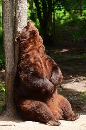 Orso nero americano massaggiandosi la schiena - Archivio Fotografico