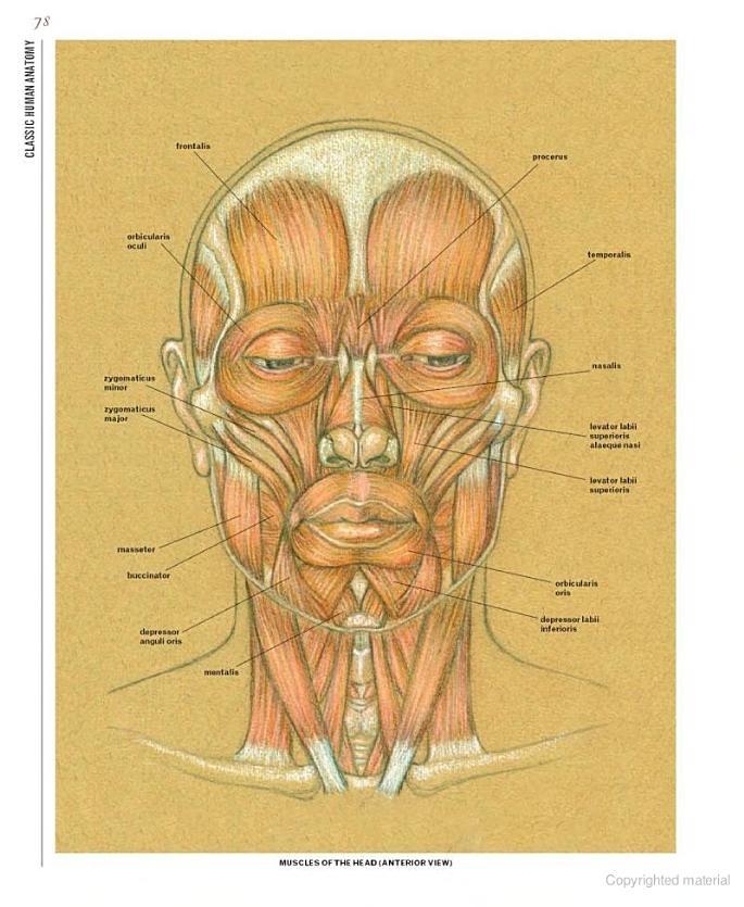 140 Best Facial Anatomy Images On Pinterest Human Anatomy Human