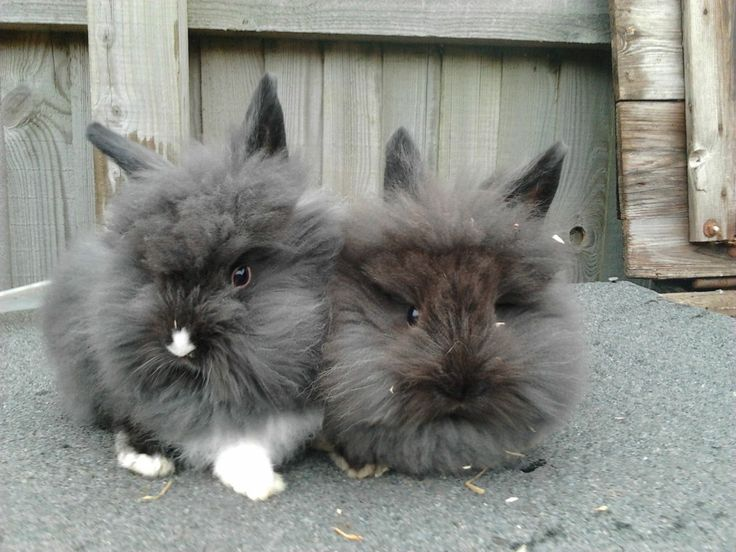 Cute baby lionhead bunnies with images lionhead bunny