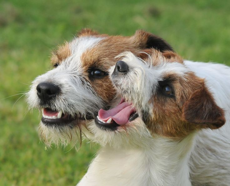 1000 images about jack russell 6 on pinterest adoption for Jack russel pelo lungo