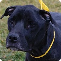 Labrador Retriever/Hound (Unknown Type) Mix Dog for adoption in Dundee, Michigan - Oscar