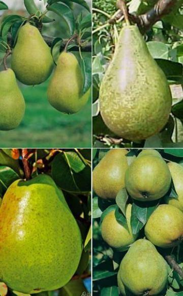 Süße Birnen für kleine Gärten - Mit lagerfähigen Birnensorten können Sie den Genuss nach der Ernte bis in den Winter verlängern. Neue Sorten passen sogar in kleine Gärten und gedeihen auch am Spalier.