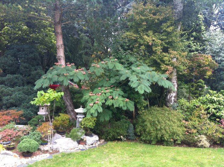 Part of the view of the 'dry' area of the garden which is spectacular. Notice the silk tree to the right of the lantern. Edward has 3 mature silk trees in his Japanese garden.