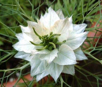 Little White Nigella flower