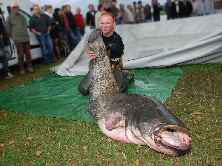 Record à battre : le silure de 2 m 30 pour un poids de 84 kg capturé par François Monteret de Crottet en septembre 23013.