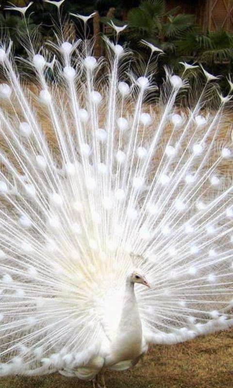 White peacock                                                                                                                                                                                 Mais