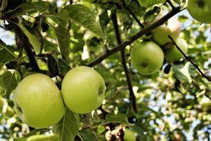 It's almost apple season, which means it's the perfect time of year to pick your own apples and start baking! Check out these locations for some of the best spots on Long Island to pick your own fruit.
