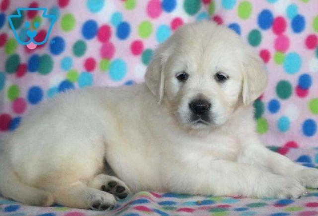 Dina Golden Retriever English Cream Puppy For Sale Keystone Puppies Golden Retriever Sporting Dogs Breeds Dog Breeds