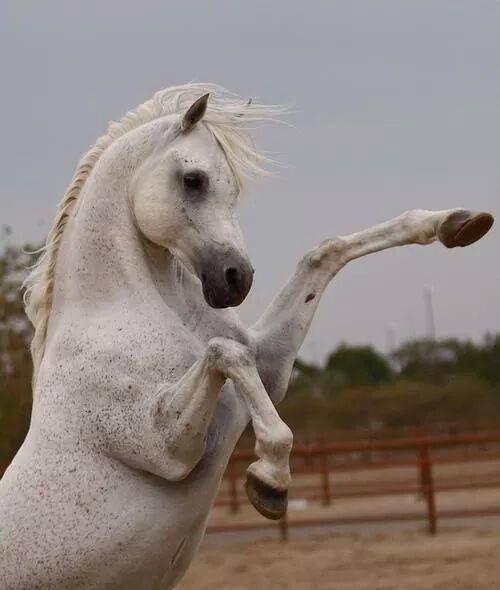 Boxing horse? White beauty, arabian, horse, hest, animal, beautiful, gorgeous, photo,