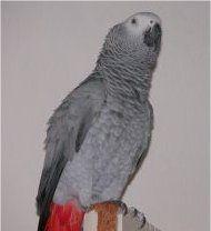 Photo d'un perroquet gris du gabon