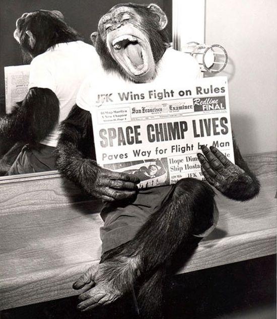 Un chimpanzé qui est allé dans l'espace pose pour la caméra, après avoir réussi sa mission en 1961.