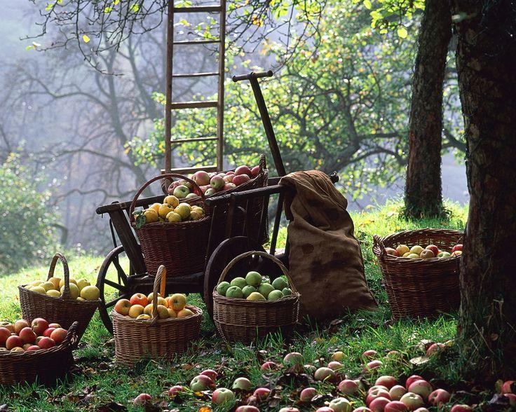 apple pickin