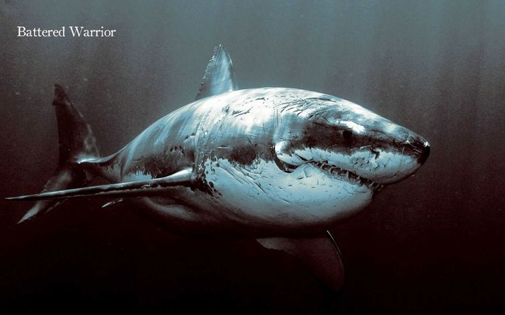 Wow! Looking viscous.: Picture, Photos, Animals, Battered Warrior, Greatwhiteshark, Warriors, Sea, White Sharks, Great White Shark