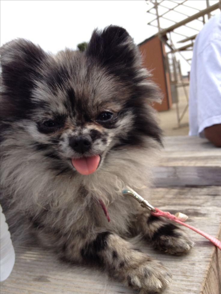pug and pomeranian mix puppies the 25 best blue merle pomeranian ideas on pinterest 6221