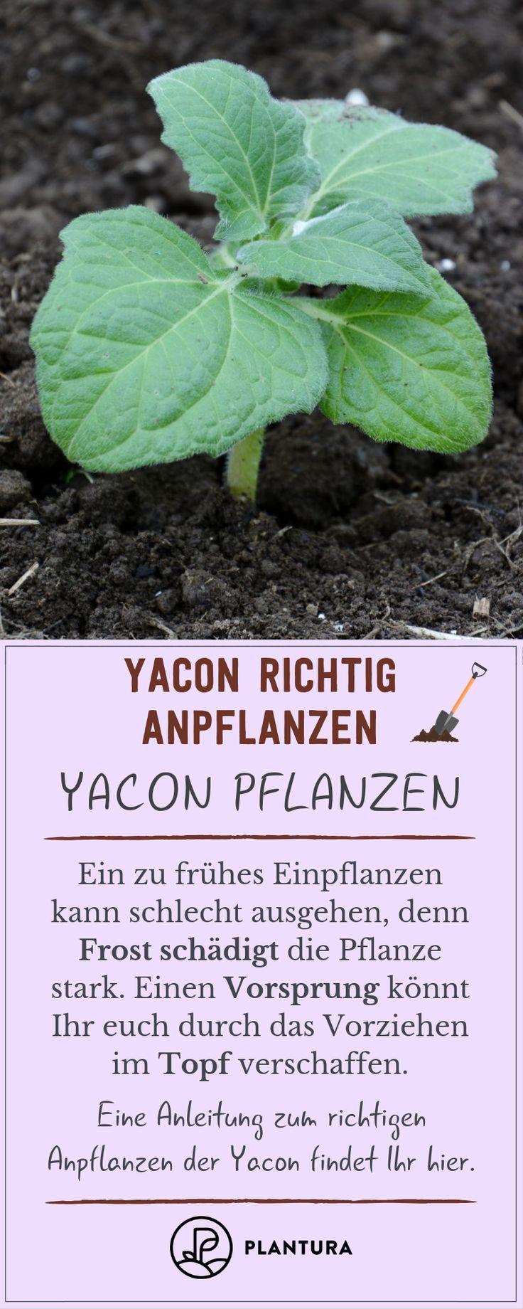 Yacon Die Susse Knolle Im Eigenen Garten Anpflanzen Pflanzen Garten Anpflanzen Und Gemuse Anpflanzen