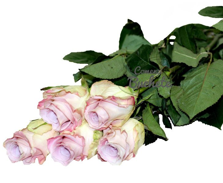 Trandafiri Amnesia/Amnesia Roses - un soi elegant, stilat, cu o nota vintage