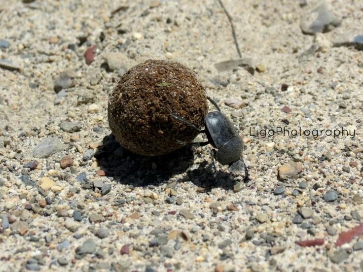 dung-beetle http://fromliritawithlove.wordpress.com/#