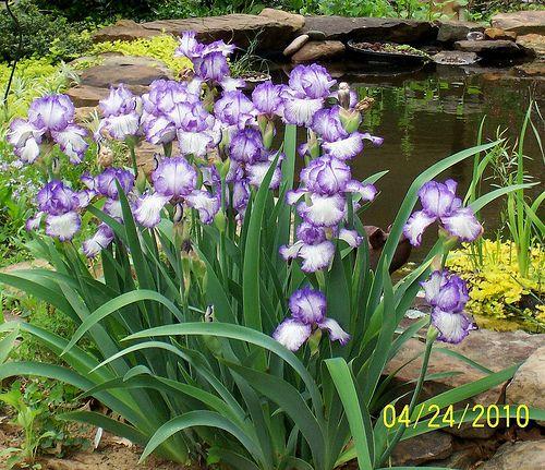 Iris germanica 'autumn circus'