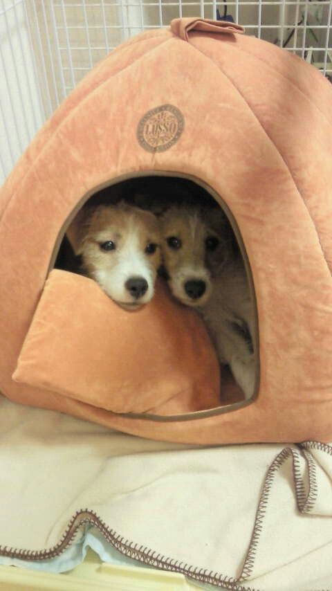Snuggled Jacks in their Pup Tent.