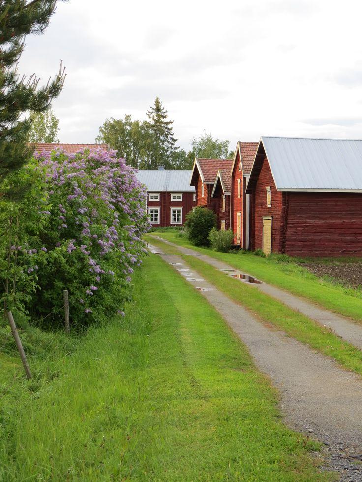 Suomalainen pihatie kesällä. Punainen tupa ja perunamaa.