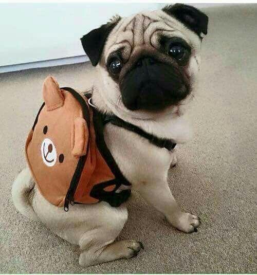 Ich bin bereit für ein Abenteuer! | cat1105.tumblr.com | #Pug #Mops