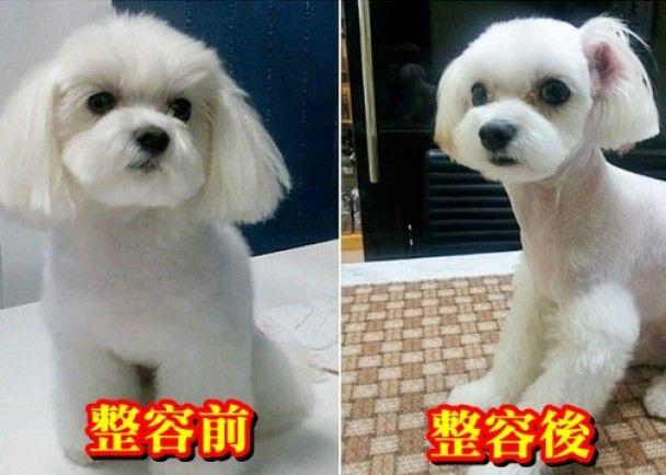 南韓寵物也整容 剪尾剪耳割雙眼皮    http://wacky.on.cc/cnt/wacky/20150808/wac-20150808174016846-0808_19011_001.html