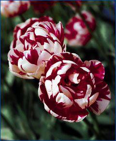 """peony tulip """"Carnival de Nice"""""""