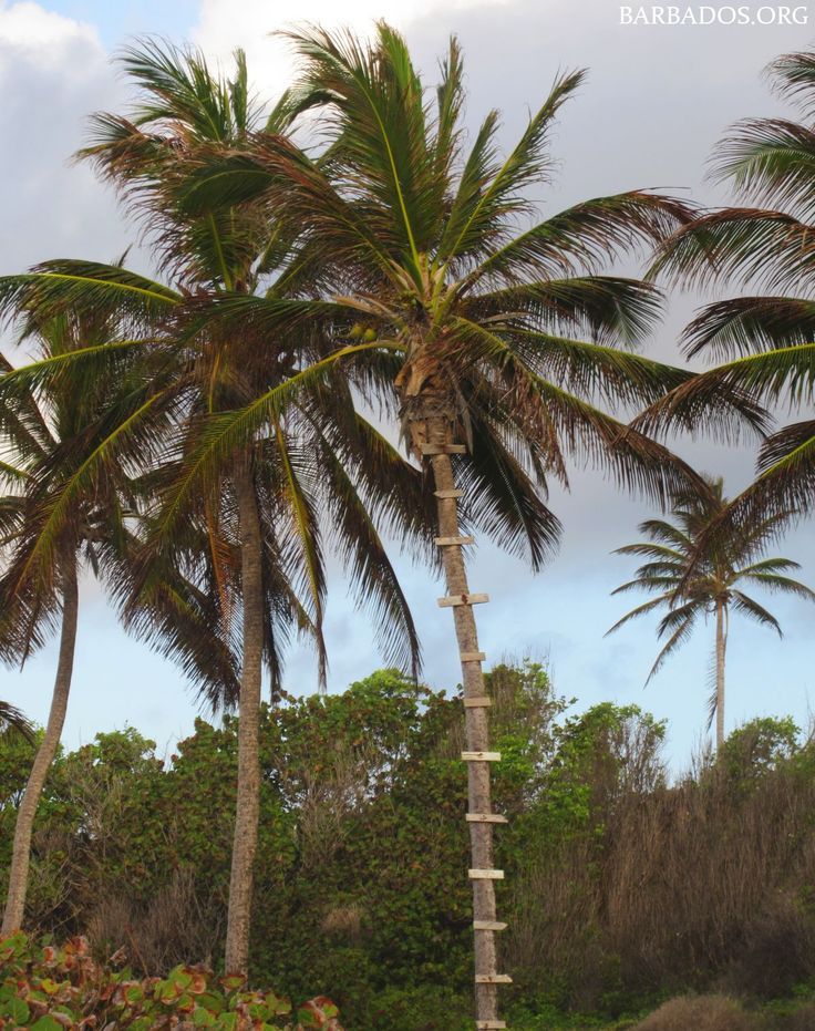 Who's brave enough to climb this Barbados coconut tree?  I think we'll wait down below :)