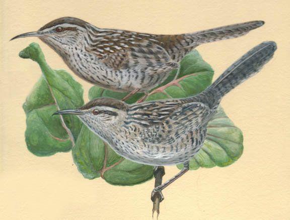 Yucatan Wren - Campylorhynchus yucatanicus