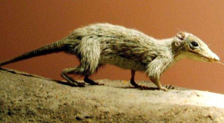 L'università di Stanford ha ricostruito gli adattamenti ecologici dei primi mammiferi grazie alle tracce di selezione positiva sui geni; i risultati confermano lo stile di vita notturno ipotizzato dallo studio dei fossili e sono un'importante evidenza dell'azione della selezione naturale nel processo evolutivo degli esseri viventi
