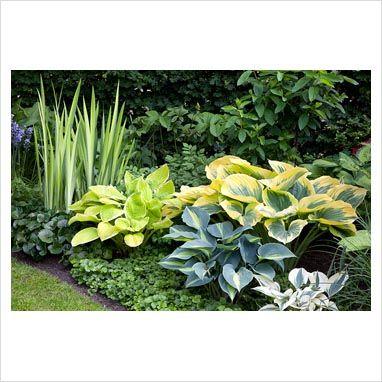 GAP Photos - Garden & Plant Picture Library - Hosta, Iris pseudacorus, Waldsteinia ternata and Asarum in in flowerbed. - GAP Photos - Specialising in horticultural photography
