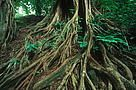 Ficus sp. Strangler fig tree in the Congo Basin rain forest, Cameroon. / ©: WWF-Canon / Martin HARVEY