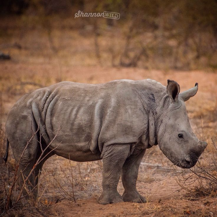 There aren't many things cuter than a baby rhino!  #unitethefight #rhino #saveaniamals #rhinosaverz #stoppoaching #StopkillingRhinos #StopKillingOurRhino #OurHornIsNotMedicine #animal #wild #wildlife #wildlifephotography #Conservation #babyrhino #cute