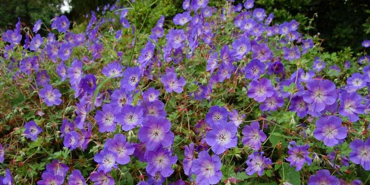 Best 25 geraniums ideas on pinterest caring for geraniums geranium care and epsom salt - Arbuste qui fleurit tout l ete ...