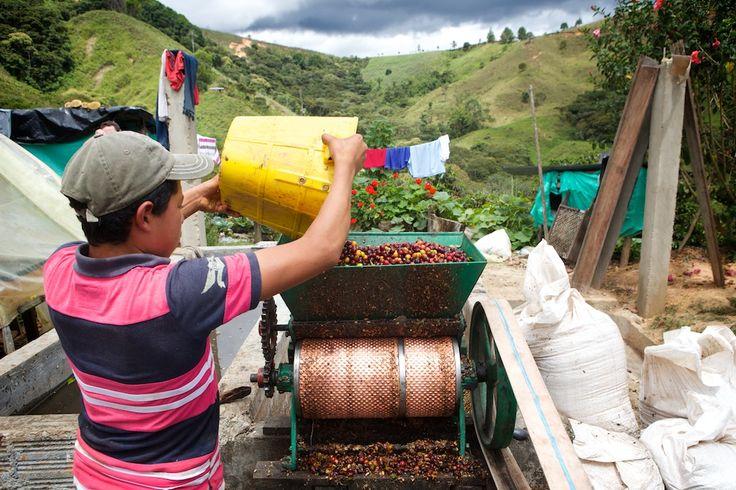 Gleich im Anschluss wird das Fruchtfleisch von den Samen, den Kaffeebohnen, getrennt