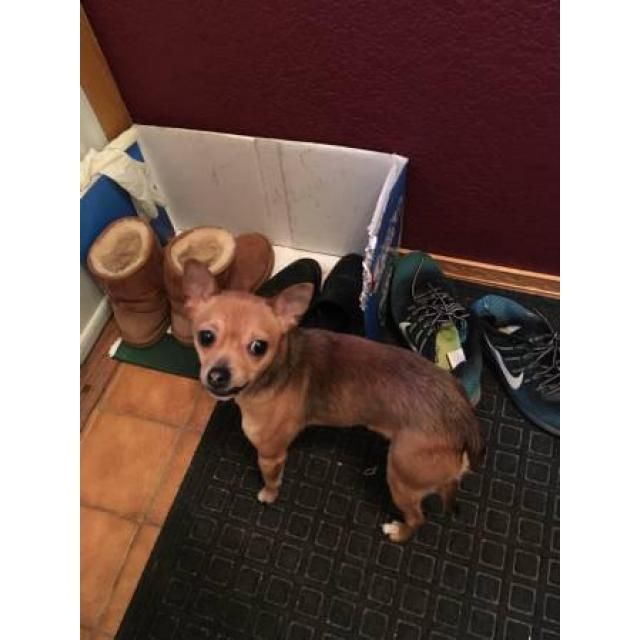 Chihuahua Martinsville One Male Chihuahua Puppy Available He Was