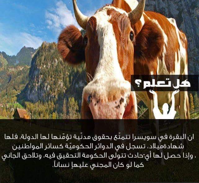 هل تعلم معلومات معلومة بقر بقرة سويسرا Animals Cow