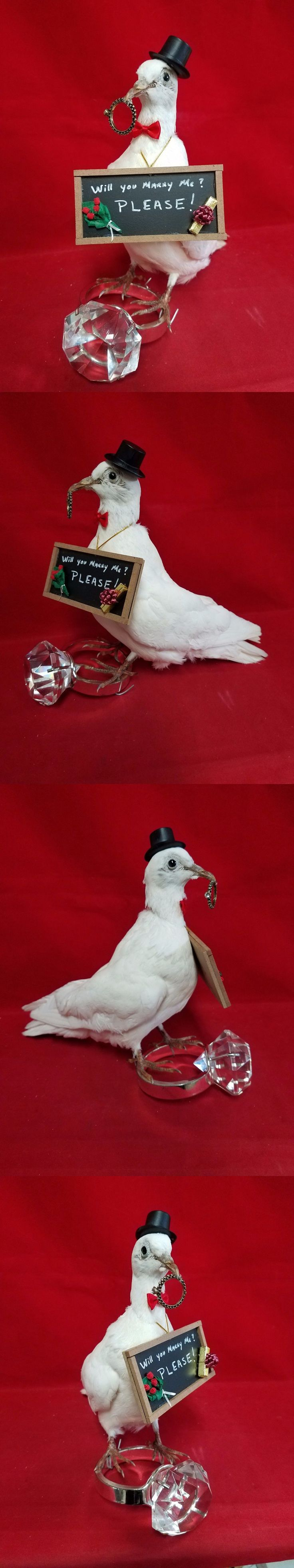 Birds 71123: *Taxidermy White Pigeon Bird Dove-Mount-Wedding Proposal Engagement-Comical -> BUY IT NOW ONLY: $109.99 on eBay!