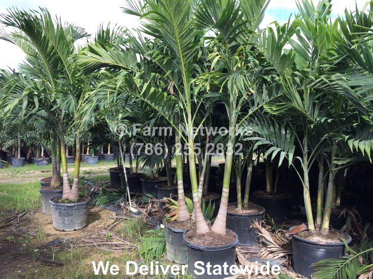 christmas palm trees for sale - Christmas Palm Trees For Sale