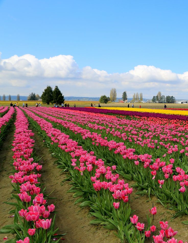 Tulip Town, WA - Just love the colors