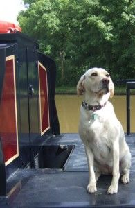 Dog On Canal Boat, narrowboat yellow lab