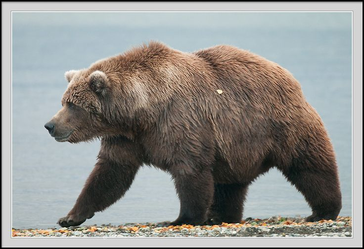 grizzly bear - Buscar con Google